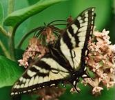 tiger swallowtail on milkweed